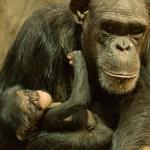Najmłodszy szympans z warszawskiego zoo dostał imię po komiksowym Tytusie