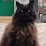 Behemot, kot mieszkający w moskiewskim muzeum Bułhakowa, został porwany. Odnalazł się po kilku godzinach